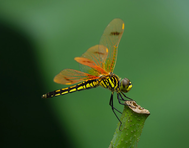 insect-dragonfly-wildlife-animal-nature picture material
