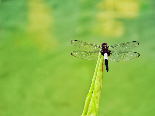 nature-dragonfly-insect-summer-dragonflies-and-damseflies picture material