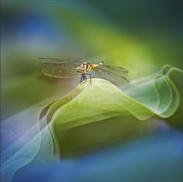 insect-nature-fly-dragonfly-animal picture material