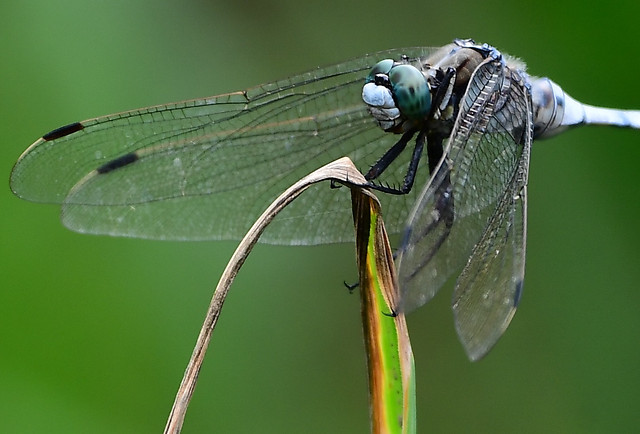 dragonfly-insect-nature-animal-fly picture material