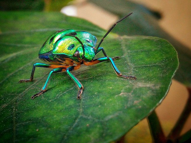 insect-nature-animal-beetle-color picture material