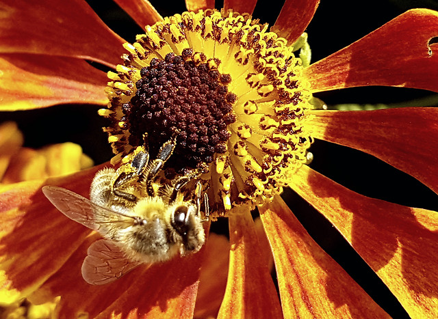 nature-flower-honey-bee-no-person-bee picture material