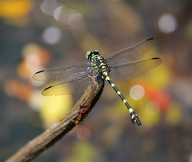 dragonfly-insect-fly-animal-wing picture material