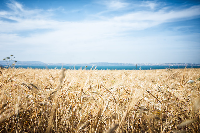 wheat-cereal-straw-corn-bread picture material