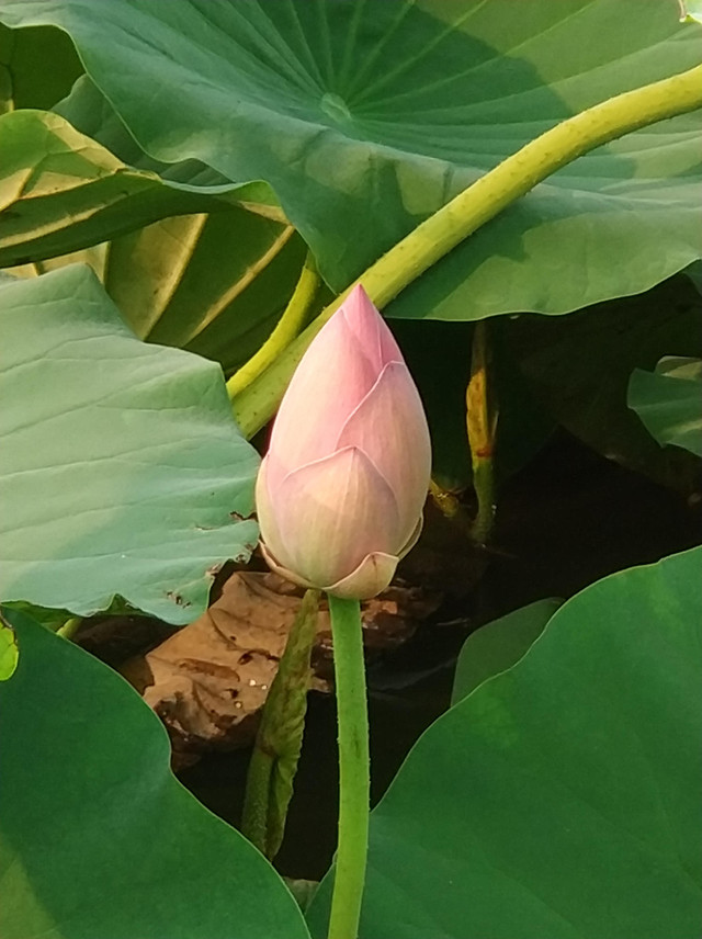 lotus-leaf-tropical-flora-exotic picture material