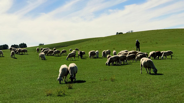 sheep-farm-livestock-mammal-grass picture material
