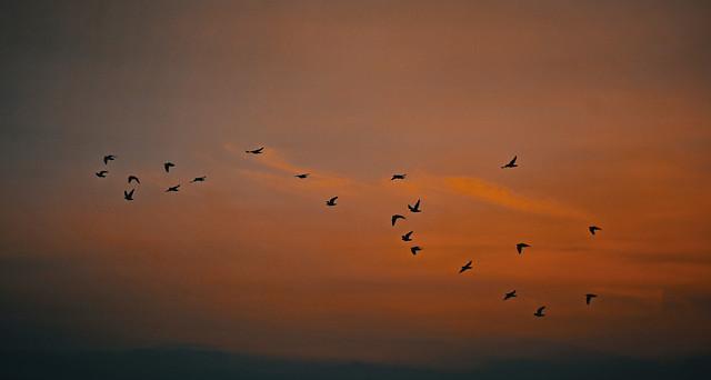 bird-goose-flight-flock-wildlife picture material