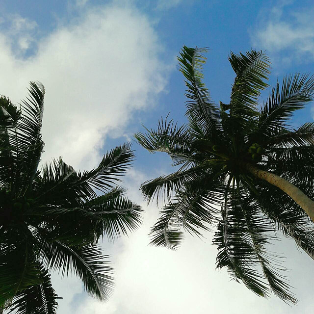 palm-coconut-beach-tropical-tree picture material