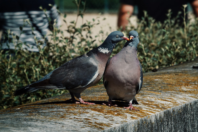 bird-wildlife-nature-no-person-pigeon picture material
