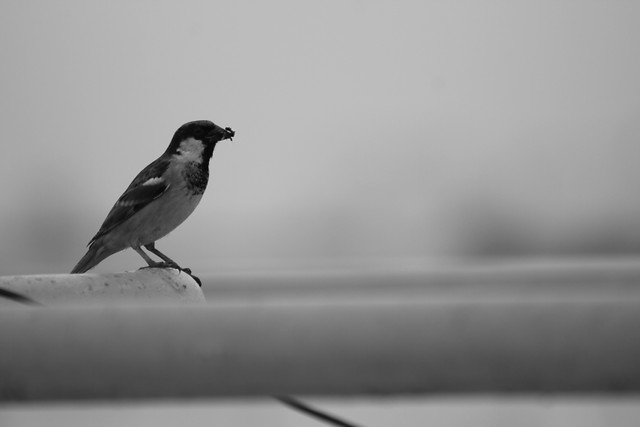 bird-no-person-monochrome-wildlife-winter picture material