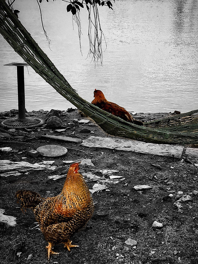 bird-poultry-nature-no-person-chicken 图片素材