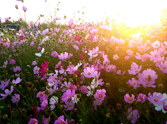 flower-nature-summer-flora-field picture material