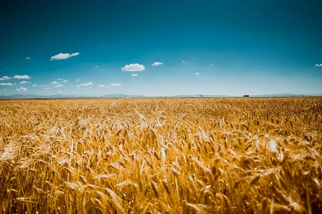 wheat-cereal-bread-corn-rye picture material