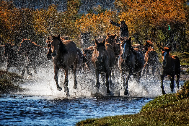 mammal-cavalry-water-nature-horse picture material