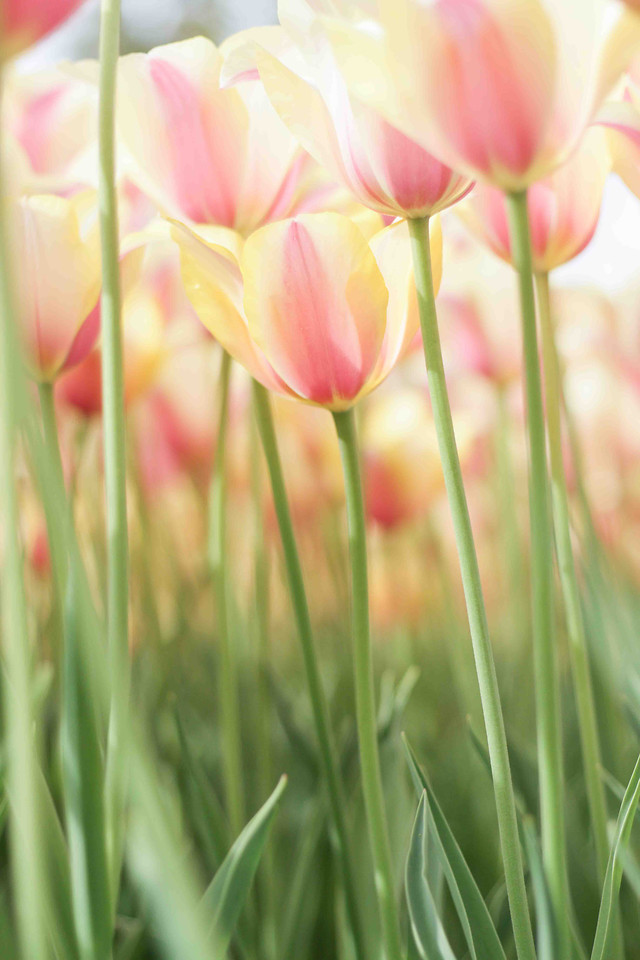 nature-flower-summer-flora-tulip picture material