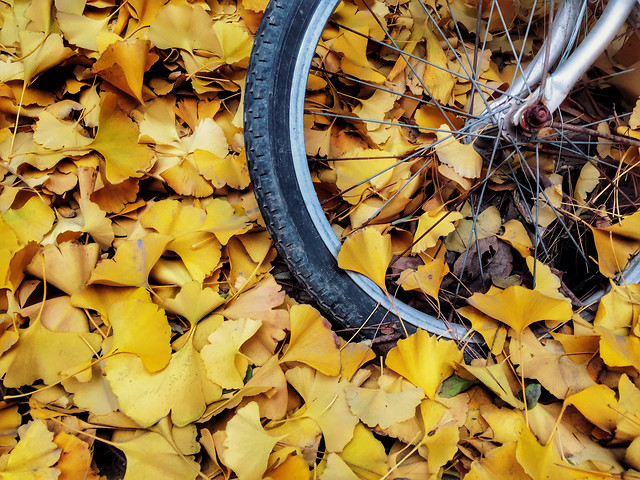 no-person-fall-yellow-leaf-gold picture material