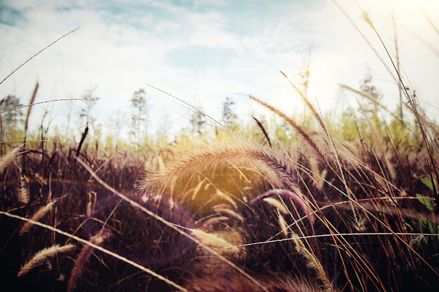 grass-nature-field-straw-rural picture material