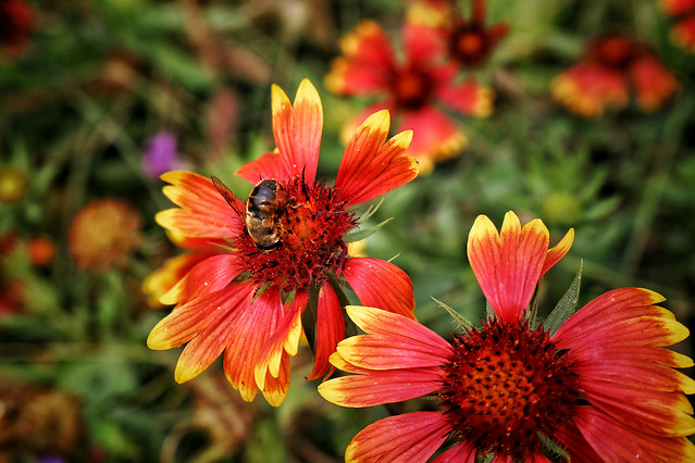 nature-flower-garden-flora-summer picture material