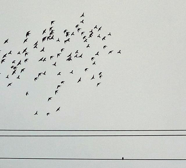 bird-wildlife-goose-waterfowl-flight picture material