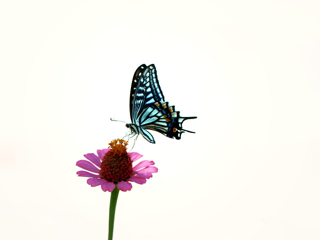 butterfly-insect-nature-summer-moths-and-butterflies picture material