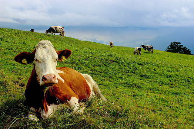 cow-agriculture-pasture-livestock-cattle picture material