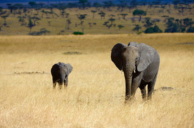 mammal-wildlife-elephants-and-mammoths-elephant-no-person picture material