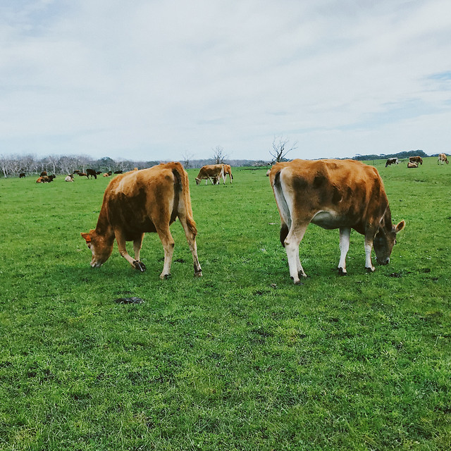 cow-cattle-agriculture-pasture-livestock picture material