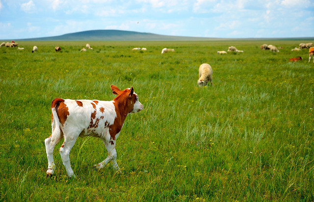 cow-grass-cattle-field-farm picture material
