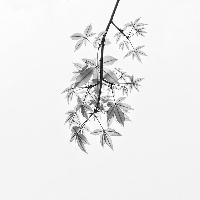 wind-nature-leaf-no-person-black-white 图片素材