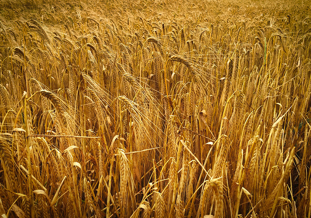 cereal-wheat-bread-rye-gold picture material