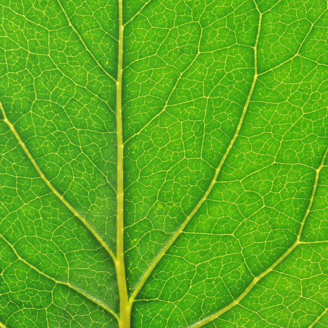 leaf-vein-flora-photosynthesis-growth picture material