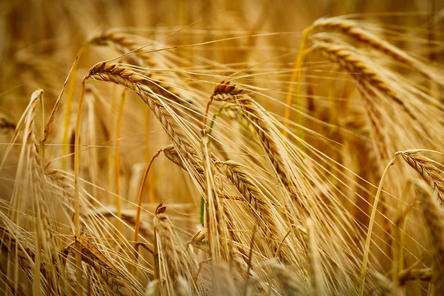 wheat-cereal-bread-rye-straw picture material