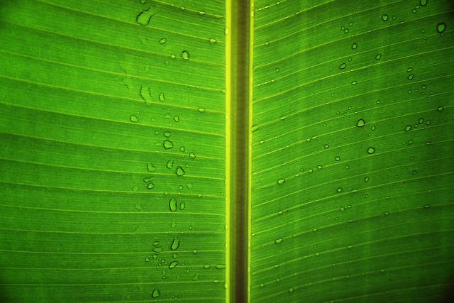 leaf-flora-vein-green-photosynthesis picture material