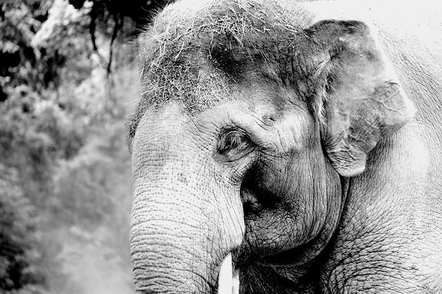 elephant-elephants-mammoths-portrait-nature-animal picture material