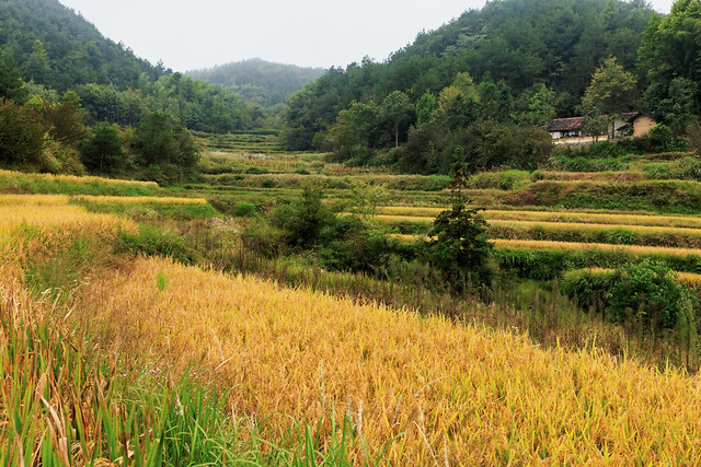 landscape-rice-nature-rural-agriculture picture material