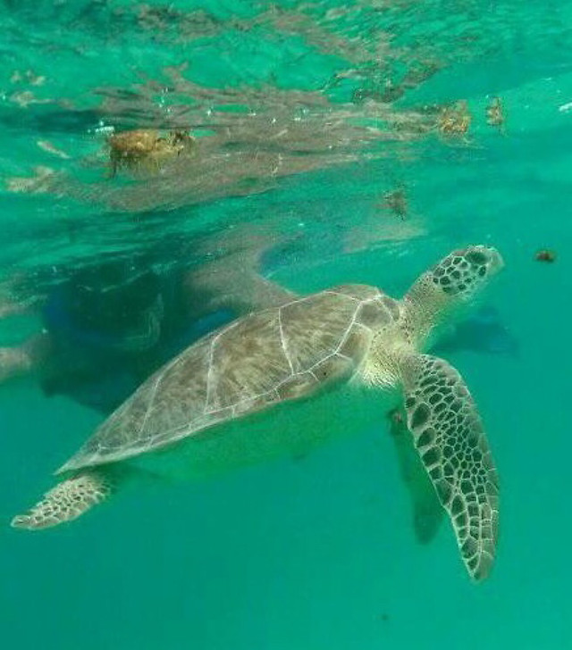 underwater-swimming-turtle-nature-wildlife picture material