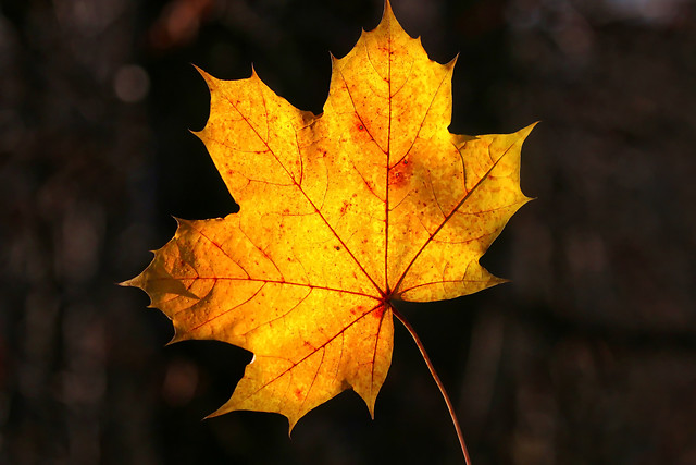 fall-leaf-maple-no-person-maple-leaf 图片素材