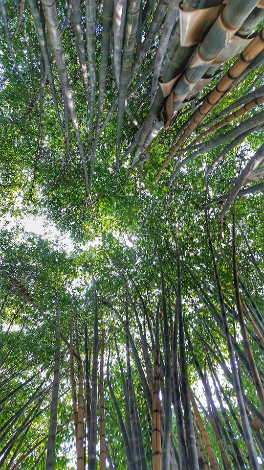 bamboo-nature-leaf-wood-tree picture material