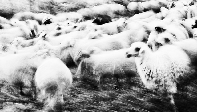 sheep-winter-snow-monochrome-no-person picture material
