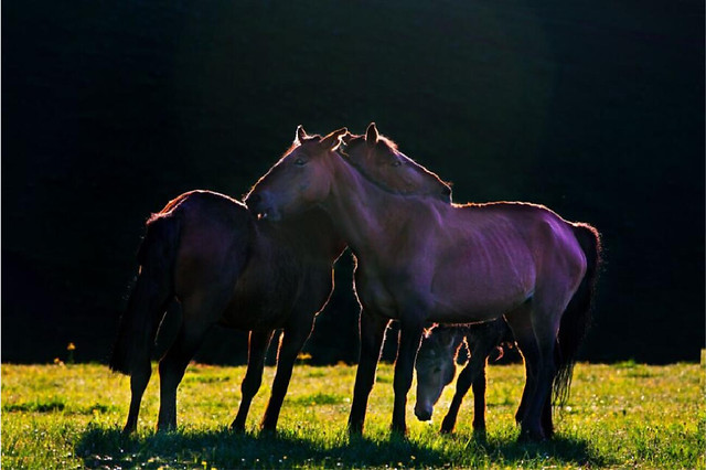 mammal-horse-grass-cavalry-hayfield picture material