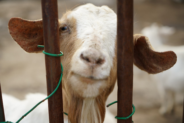 goats-nature-animal-mammal-farm picture material