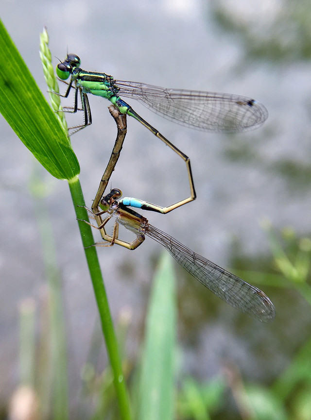 dragonfly-insect-fly-damselfly-nature picture material
