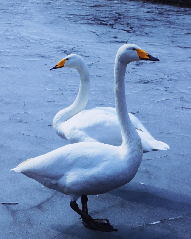 white-goose-swan-bird-water-bird-ducks-geese-and-swans 图片素材