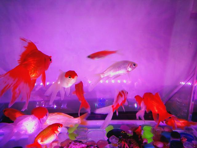 aquarium-fish-underwater-goldfish-swimming picture material