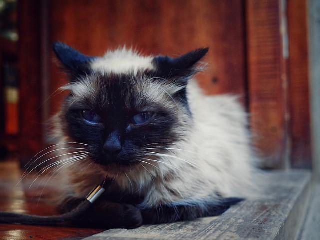 cat-mammal-pet-animal-domestic picture material