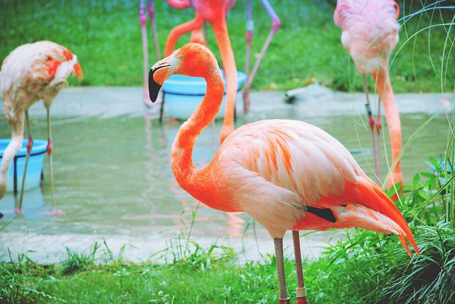 bird-flamingo-beak-animal-neck picture material