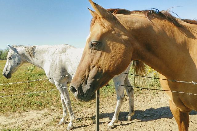 horse-mare-mane-pasture-stallion picture material