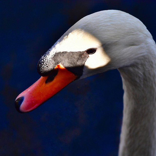 swan-bird-no-person-waterfowl-water picture material