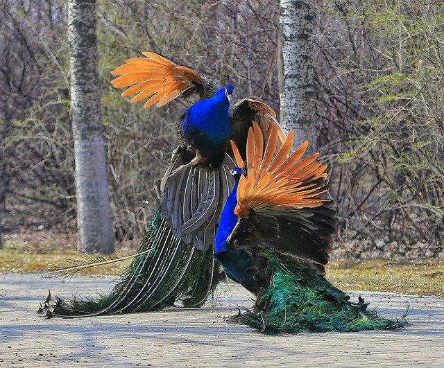 bird-feather-nature-peafowl-wildlife picture material