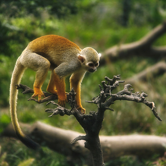wildlife-monkey-nature-mammal-animal picture material